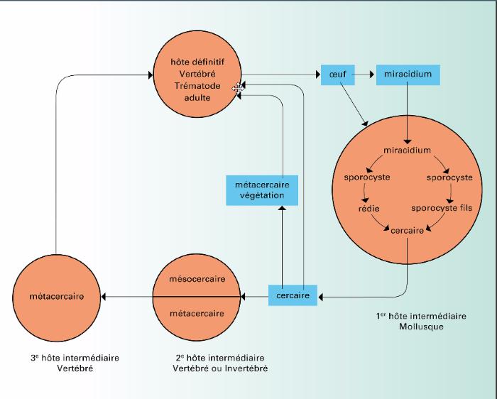 Cycle évolutif d'un trématode. Image tirée du site universalis.fr
